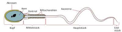 Spermiogramm Alkohol